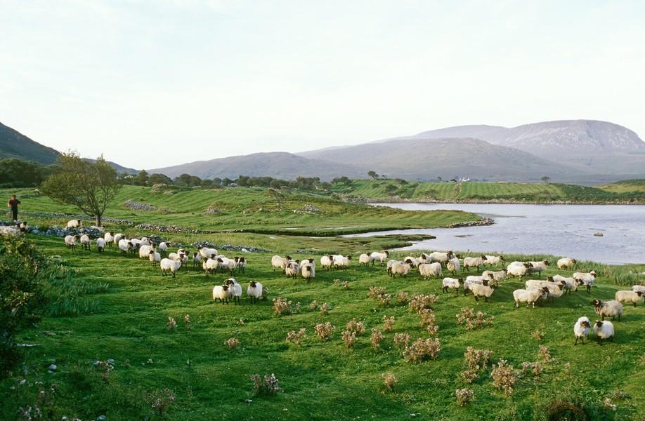 Sheep Grazing, Fields near Mallaranny, Ireland